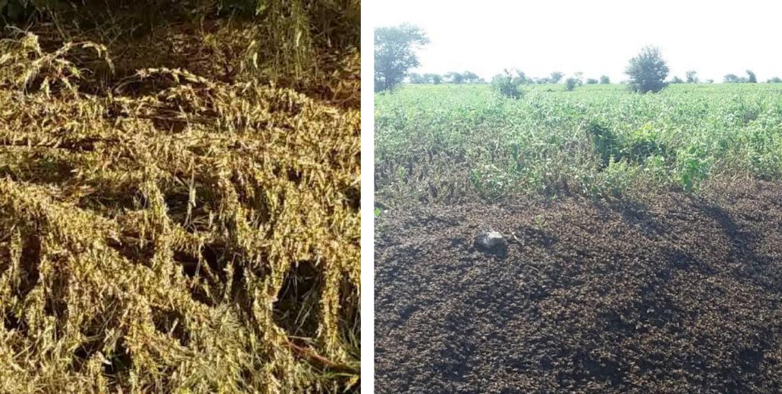 Locusts in Afar Ethiopia